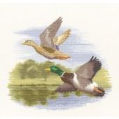 FFDF651 - Mallard Ducks in Flight